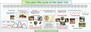 Two-Year Life Cycle of a Tick (Poster)